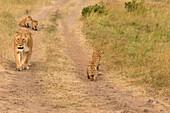 Masai Mara Park, Kenya,Africa,lioness and her puppies walk in the bush