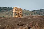 Masai Mara Park, Kenya,Africa,lioness nursing the puppies