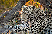South Africa, Kruger NP,Cheetah Plains Private Game Reserve, Leopard at sunset