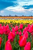 Windmills and tulip field full of flowers in Alkmaar, Netherland