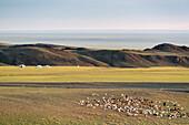 Nomadic camp with livestock, Bayandalai district, South Gobi province, Mongolia