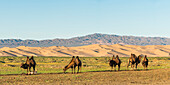 Camels and sand dunes of Gobi desert in the background. Sevrei district, South Gobi province, Mongolia.
