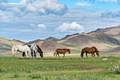 Wild horses grazing and Khangai mountains in the background, Hovsgol province, Mongolia