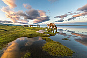 Horses grazing and drinking water from Hovsgol Lake at sunset, Hovsgol province, Mongolia