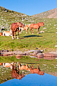 Horses grazing in the mountains mirrored in a pool of water, Bormio, Valtellina, Lombardy, Italy