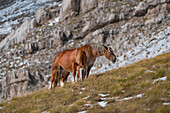 Wild horses grazing in the mountains of Campo Imperatore, L'Aquila province, Abruzzo, Italy, Europe