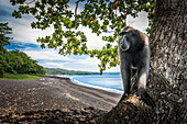 Black crested macaque, Tangkoko National Park, Northern Sulawesi, Sulawesi, Indonesia