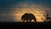 Brown bear silhouette (Ursus arctos alascensis), Brooks falls, Katmai National Park and Preserve, alaska peninsula, western Alaska, United States of America