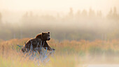 Brown bear (Ursus arctos alascensis), Brooks River, Katmai National Park and Preserve, alaska peninsula, western Alaska, United States of America