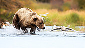 Brown bears (Ursus arctos alascensis), Brooks River, Katmai National Park and Preserve, alaska peninsula, western Alaska, United States of America