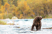 Brown bear (Ursus arctos alascensis), Brooks falls, Katmai National Park and Preserve, alaska peninsula, western Alaska, United States of America