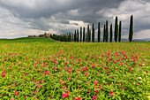 Italy, Tuscany, Orcia valley, flowers at farmhouse Poggio Covili at Castiglione d'orcia, provence of Siena