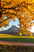 Yellow leaves of tree during autumn, Castelrotto, Seiser Alm, Bolzano province, South Tyrol, Italy