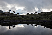 Silhouettes of cows reflected in alpine lake, Bernina Pass, Poschiavo Valley, canton of Graubünden, Engadine, Switzerland
