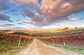 Europe,Italy,Umbria,Perugia district,Montefalco, Vineyards in autumn