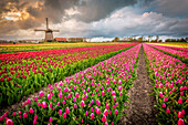 Alkmaar, Netherlands, Tulips field in bloom and windmill during springtime