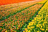 Lisse, Netherlands, Tulips field in bloom during springtime