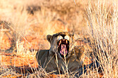 Wild lioness yawn in Etosha, Namibia, Africa