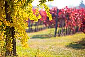 Lambrusco Grasparossa Vineyards in autumn, Castelvetro di Modena, Emilia Romagna, Italy