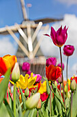 Close up of multicolored tulips with windmill on the background, Keukenhof Botanical garden, Lisse, South Holland, The Netherlands