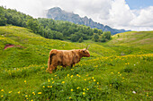 Yak grazing in summer near Campogrosso pass, Veneto, Italy