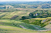Italy, Tuscany, Orcia Valley, Flock of sheeps in the meadows