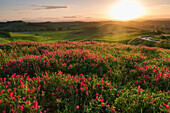 Sunset over a flower field in the countryside surrounding Siena, near Asciano, Val d'Orcia, Tuscany, Italy