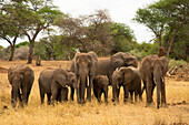 A family of elephants (Loxondonta africana) with their young standing together in Tarangire National Park, Tanzania, East Africa, Africa