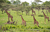 A group of Masai giraffes (Giraffa camelopardalis) in Serengeti National Park, UNESCO World Heritage Site, Tanzania, East Africa, Africa