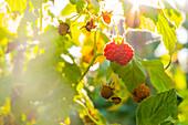 Close up of raspberries ripening