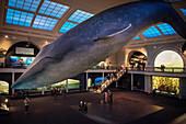 visitors sitting beneath a blue whale reconstruction hanging for the ceiling of American Museum of Natural History, Manhattan, NYC, New York City, United States of America, USA, North America