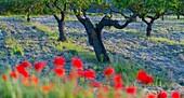 Poppies field and almond trees, Terres de l'Ebre, Tarragona, Catalunya, Spain.