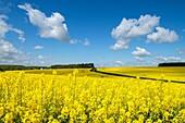 Rape fields in spring, Montrésor, Indre-et-Loire, France
