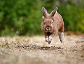 European hare (Lepus europaeus) running through dry grass, Sweden