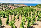 Vineyard grape vines overlooking the town of Collioure, Côte Vermeille, Céret, Pyrénées-Orientales, Occitanie, France.