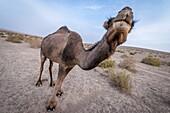 Dromedary camel (Camelus dromedarius) on Maranjab Desert located in Aran va bidgol County in Iran.