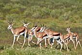 Group of springbok (Antidorcas marsupialis) running, Kgalagadi Transfrontier Park, South Africa, Africa