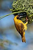 Southern masked weaver (Ploceus velatus), male building a nest, Kgalagadi Transfrontier Park, South Africa, Africa