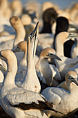 Cape Gannet (Morus capensis) displaying, Bird Island, Lambert's Bay, South Africa, Africa