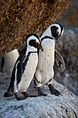 African Penguin (Spheniscus demersus) pair, Simon's Town, near Cape Town, South Africa, Africa