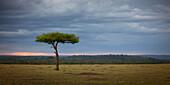 Acacia tree, Masai Mara, Kenya, East Africa, Africa
