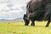 Yak grazing, Orkhon valley, South Hangay province, Mongolia, Central Asia, Asia