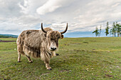 Yak on the shores of Hovsgol Lake, Hovsgol province, Mongolia, Central Asia, Asia
