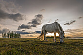 Horse grazing on the shores of Hovsgol Lake at sunset, Hovsgol province, Mongolia, Central Asia, Asia