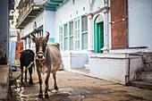 Cow on the streets of Varanasi, Uttar Pradesh, India, Asia