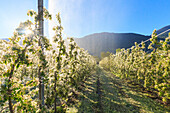 Ice on apple plants during the cold spring days, Valtellina, Lombardy, Italy, Europe