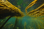 Underwater image of seaweed, Inner Hebrides, Scotland, United Kingdom, Europe
