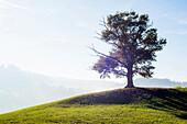 Solitary oak, English oak (Quercus robur) in autumn, Freiburg im Breisgau, Black Forest, Baden-Württemberg, Germany