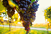 grapes, sunset, Ehrenstetten, near Freiburg im Breisgau, Markgräflerland, Black Forest, Baden-Württemberg, Germany