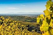 vineyards, Ebringen, near Freiburg im Breisgau, Markgräflerland, Black Forest, Baden-Württemberg, Germany